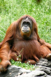 palm oil production is causing orangutans to lose their homes