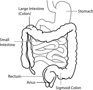 intestine diagram